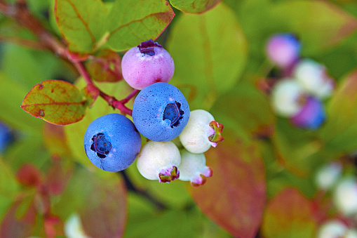 blueberry plant in autumn garden with blueberries ripening