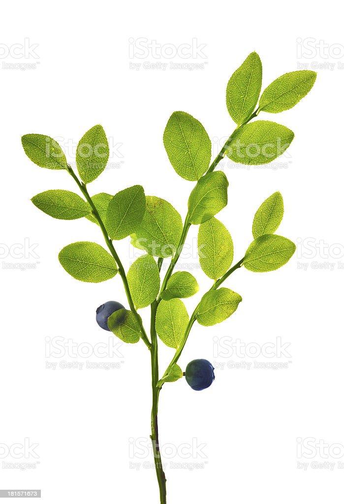 blueberry plant isolated on white royalty-free stock photo