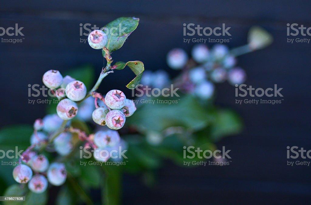 Blueberry plant stock photo