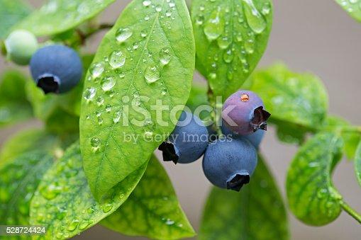 istock Blueberry plant 528724424