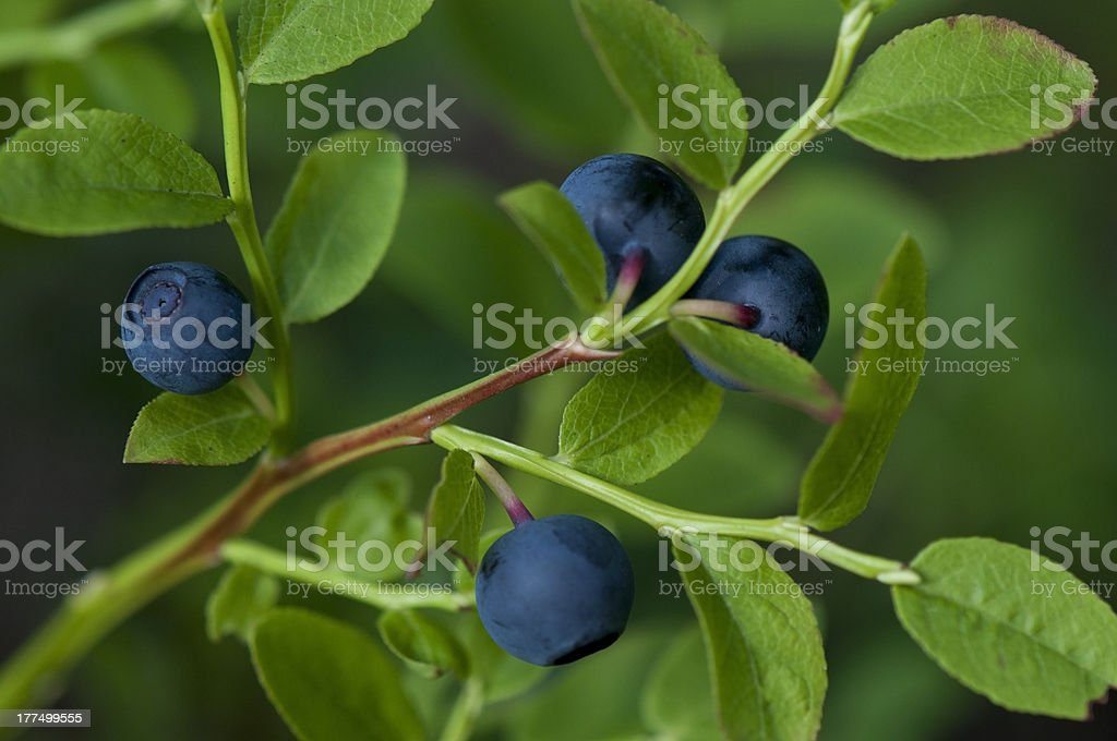 Blueberry Plant with Ripe Blueberries stock photo