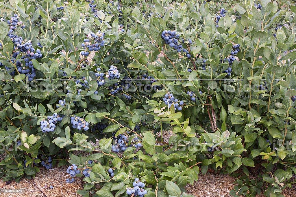 Blueberry plantation stock photo