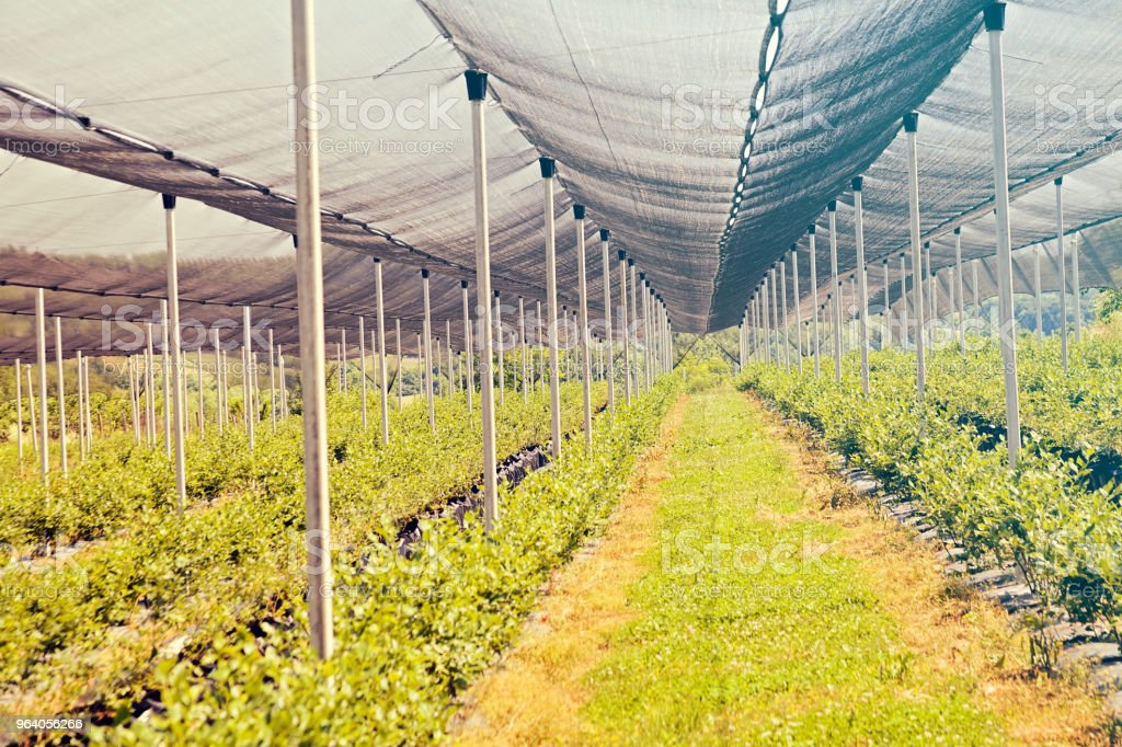 blueberry plantations - Royalty-free Agricultural Field Stock Photo