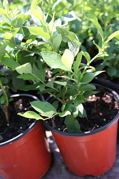 Blaubeer-Pflanzen – Foto