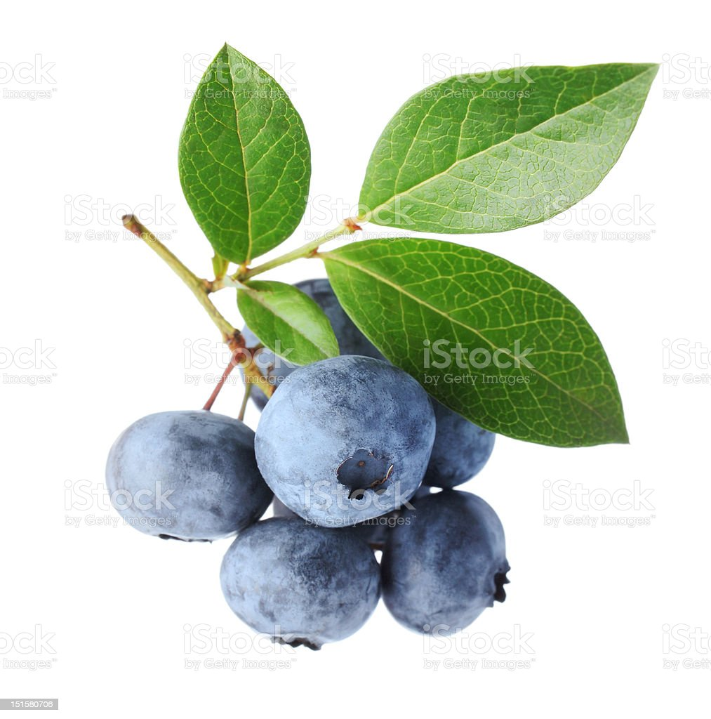 Blueberry twig stock photo