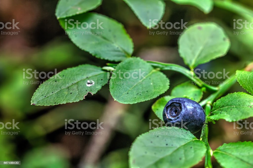 Blueberry. Wild berry. foto stock royalty-free