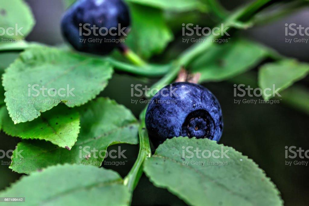 Blueberry. Wild berry. foto stock royalty-free