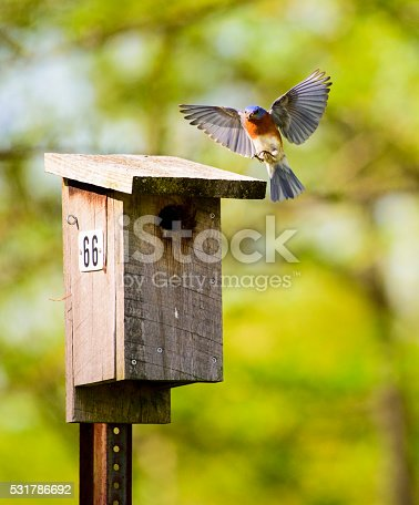 Bluebird with wings fully open, coming in for a landing on Nesting Box