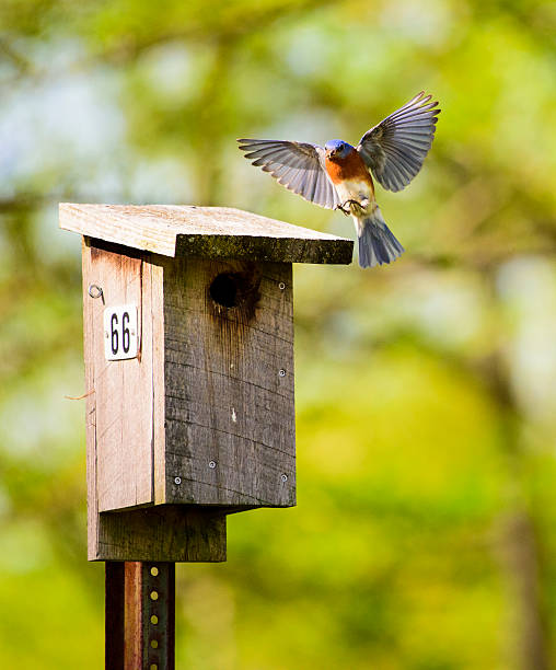 Bluebird coming in for a Landing on Nesting Box stock photo