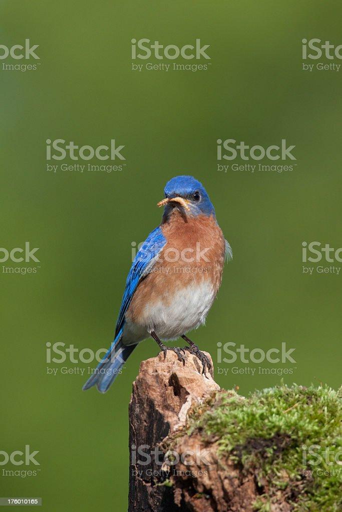 Bluebird feeding royalty-free stock photo
