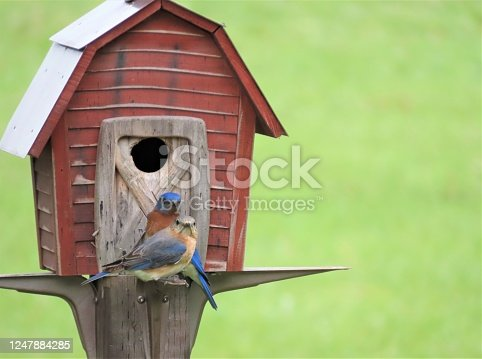 Photograph of an Eastern Bluebird couple at their home.  Photograph taken in the Canadian prairies in Manitoba.