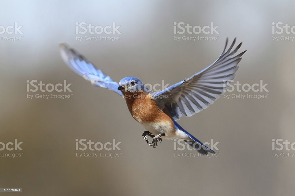 Bluebird In Flight stock photo
