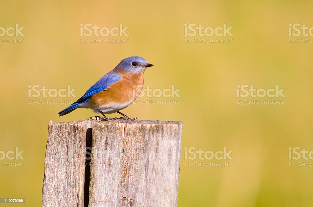 Bluebird on a fencepost stock photo