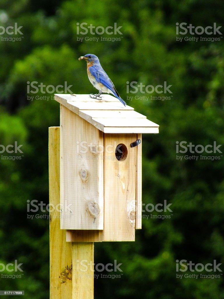 Bluebird on bird house stock photo