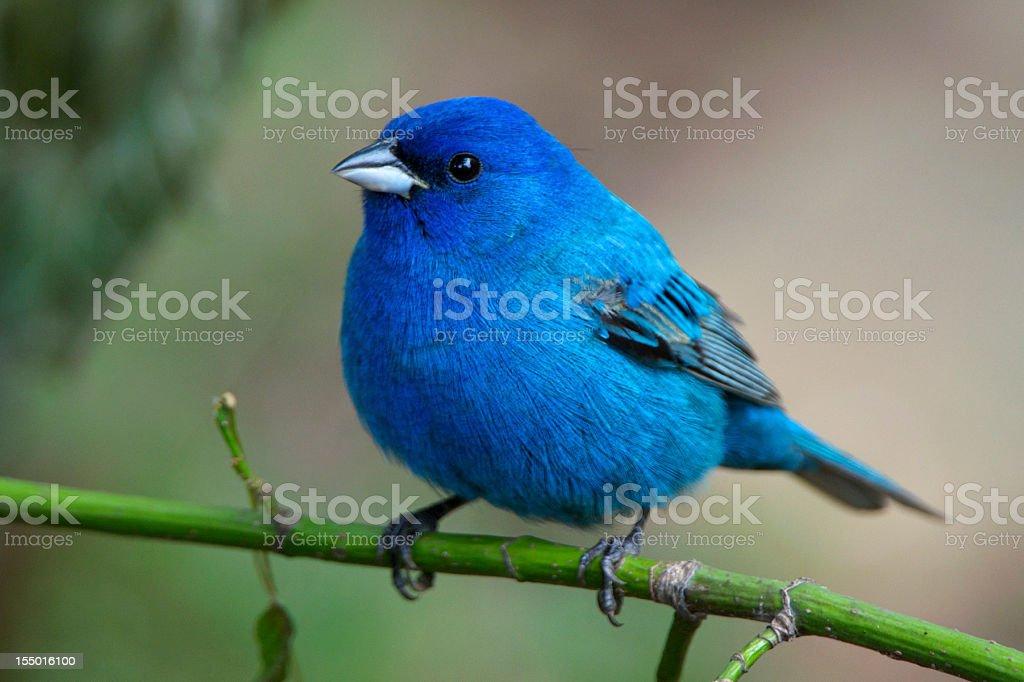 Bluebird on green stem in the Arkansas wild royalty-free stock photo