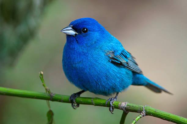 Bluebird auf grüne Stängel in der Arkansas wild – Foto