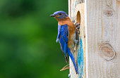 Nice close up of this male bluebird.