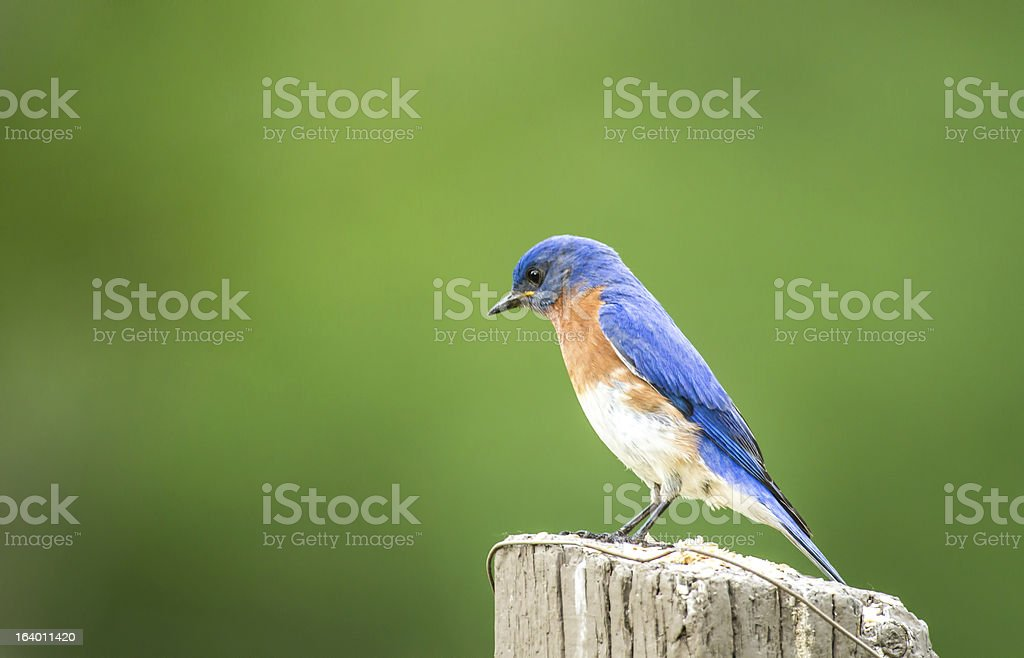 Bluebird on the Fence Post royalty-free stock photo