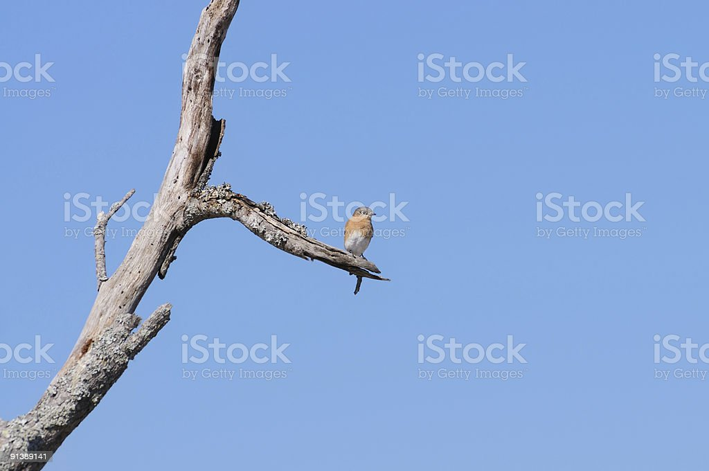 Bluebird On Weathered Tree Two stock photo