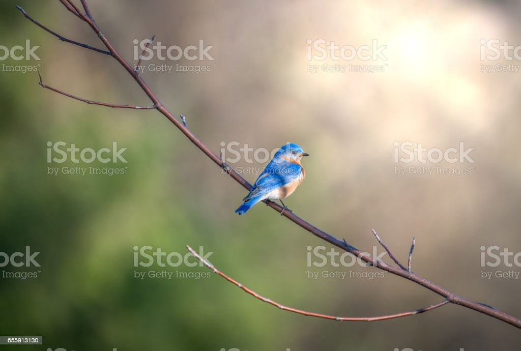 Bluebird perched on a tree branch in the sunlight stock photo