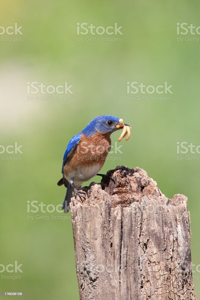 Bluebird royalty-free stock photo