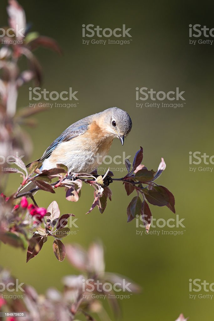 Bluebird stock photo