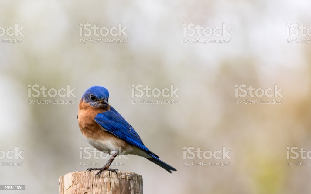 Bluebird portrait perched against clean muted background stock photo