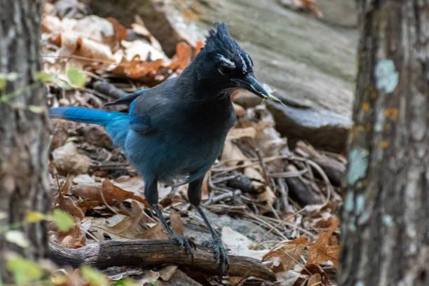 Bluebird with a bug stock photo