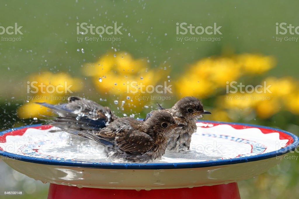 Bluebirds in the Bird Bath stock photo