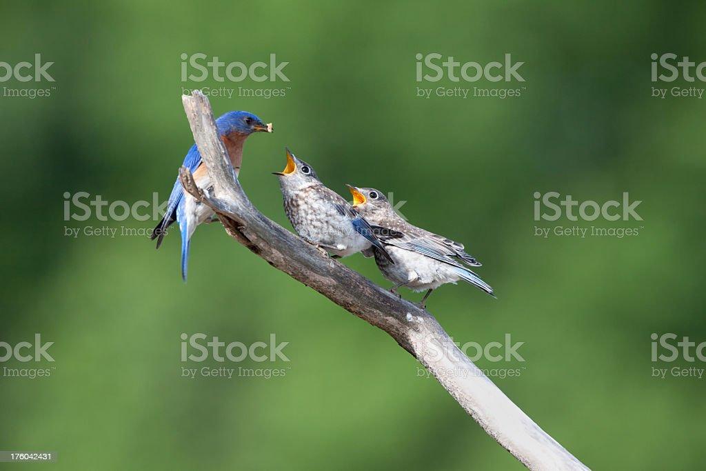 Bluebirds royalty-free stock photo