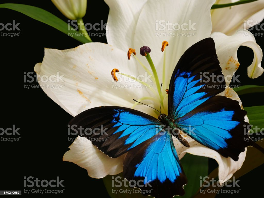 Blue-black Papilio ulysses butterfly on white lily flower stock photo