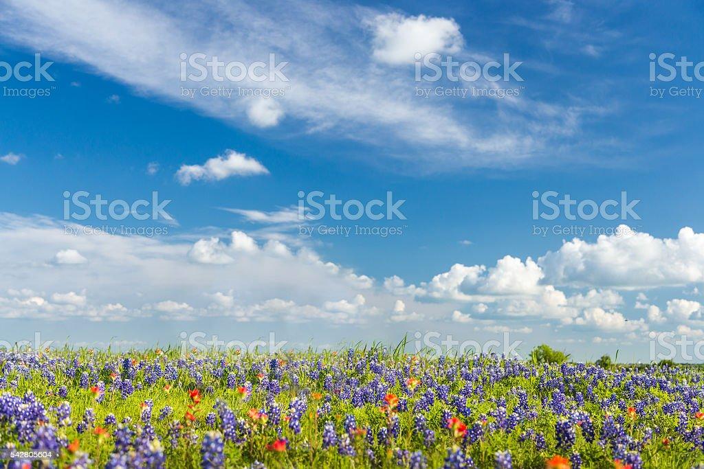 bluebonet and indian paintbrush filed and blue sky background stock photo
