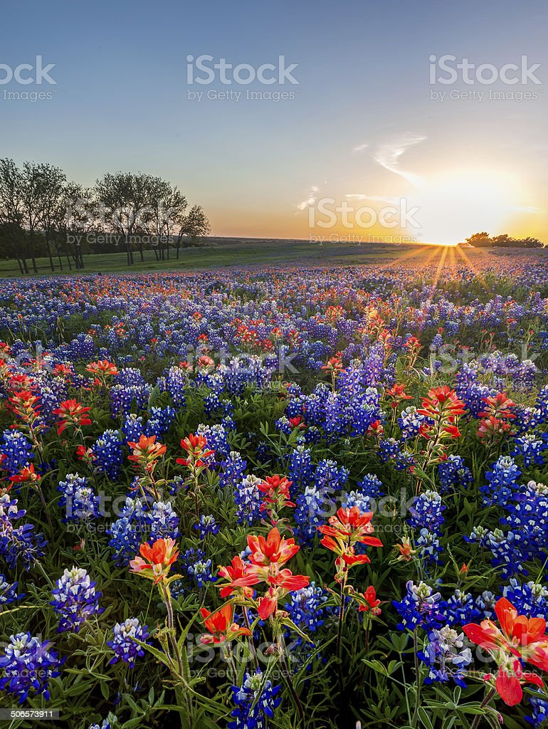 Bluebonnet and Indian paintbrush wildflowers filed, Texas stock photo