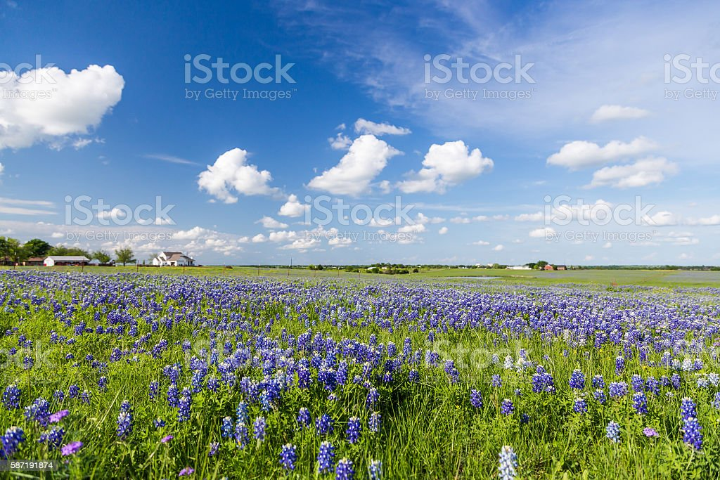 Bluebonnet field and blue sky in Ennis, Texas stock photo