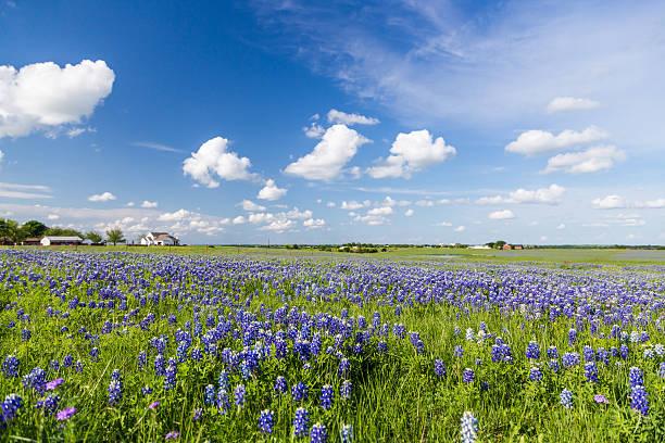 Bluebonnet field and blue sky in Ennis, Texas stock photo