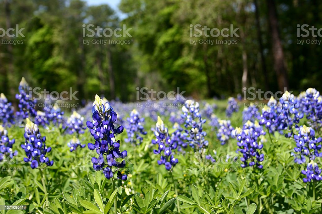 Bluebonnet Field In Spring Flowers Close Up No People Texas Stock