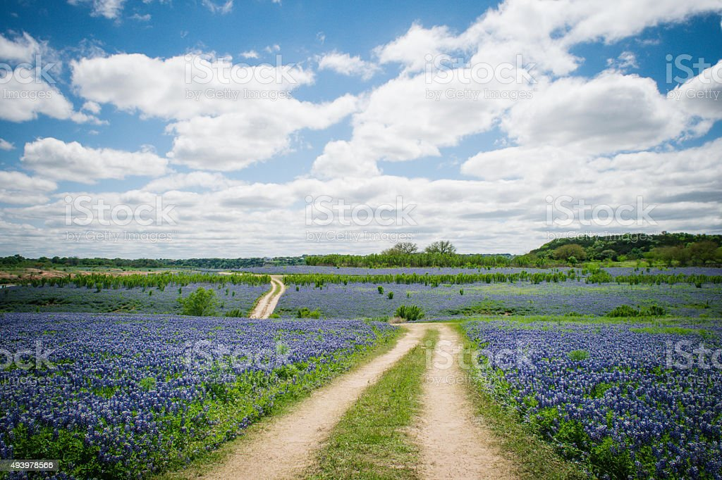 Bluebonnet Field stock photo