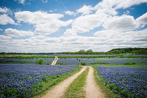 bluebonnet field - bluebonnet stock photos and pictures
