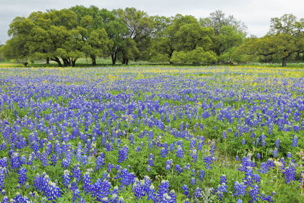 Bluebonnet Field - Texas Hill Country stock photo