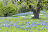 A field of Bluebonnets in Texas Hill Country.