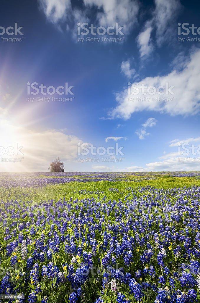 Bluebonnet Fields in Palmer, TX stock photo