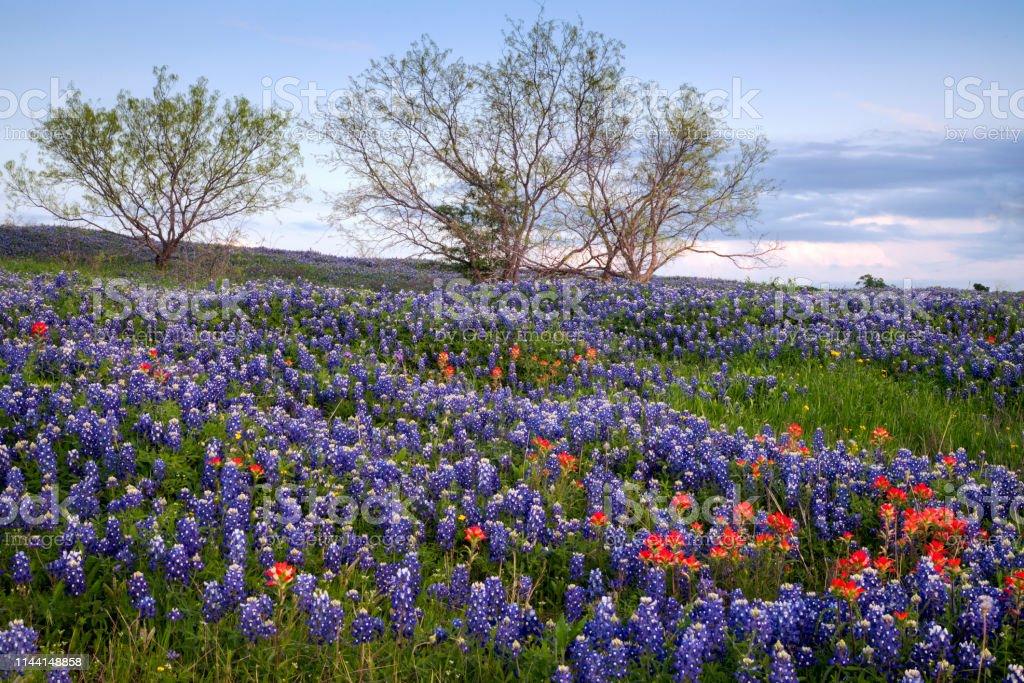 Bluebonnet Filled Meadow Near Ennis Texas Stock Photo Download