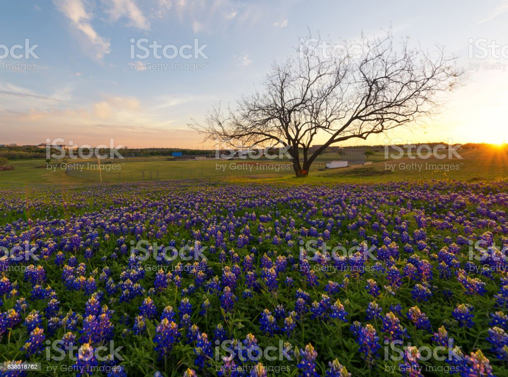 Bluebonnet flowers blooming in Irving, Texas stock photo