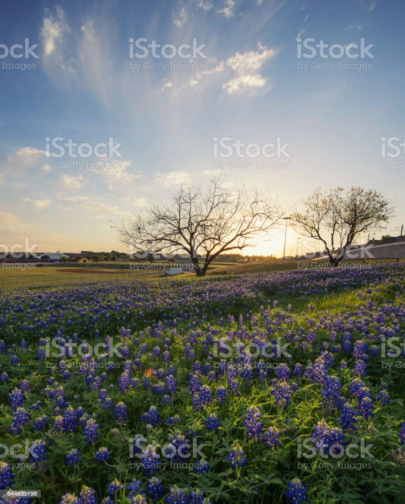 Bluebonnet Flowers Field In Irving Texas Stock Photo 644935196 Istock