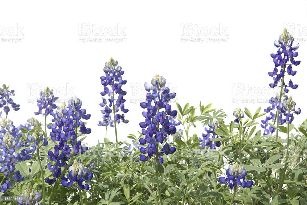 Flor gorra azul flores en una fila - foto de stock
