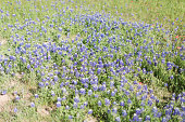 Spring Bluebonnet flowers in an open field in Waco, Texas.
