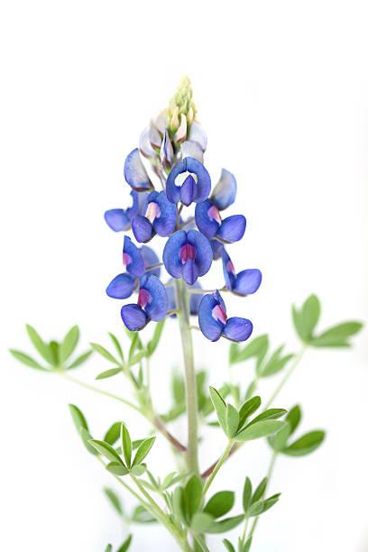 bluebonnet flowers - bluebonnet stock photos and pictures