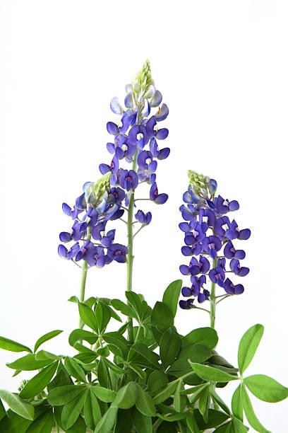 Bluebonnet Flowers stock photo