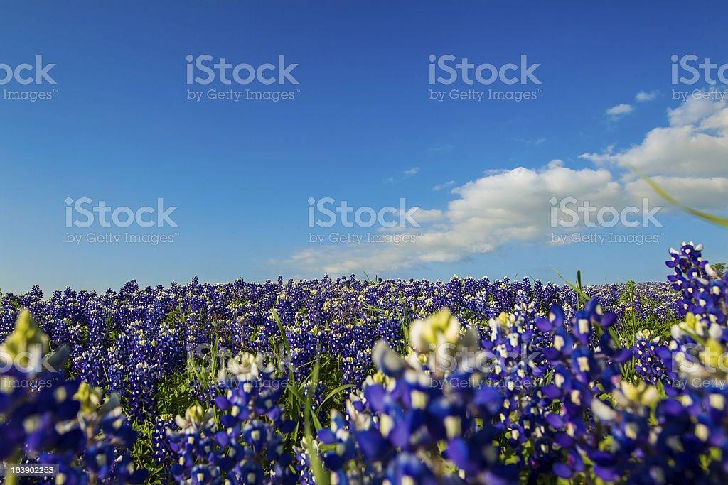Bluebonnet Horizon stock photo