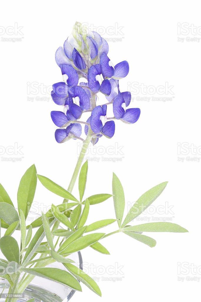 bluebonnet (XL) stock photo